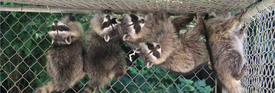 Upside down raccoons 2012