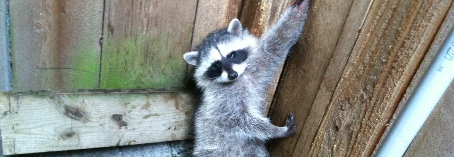 stuck raccoon