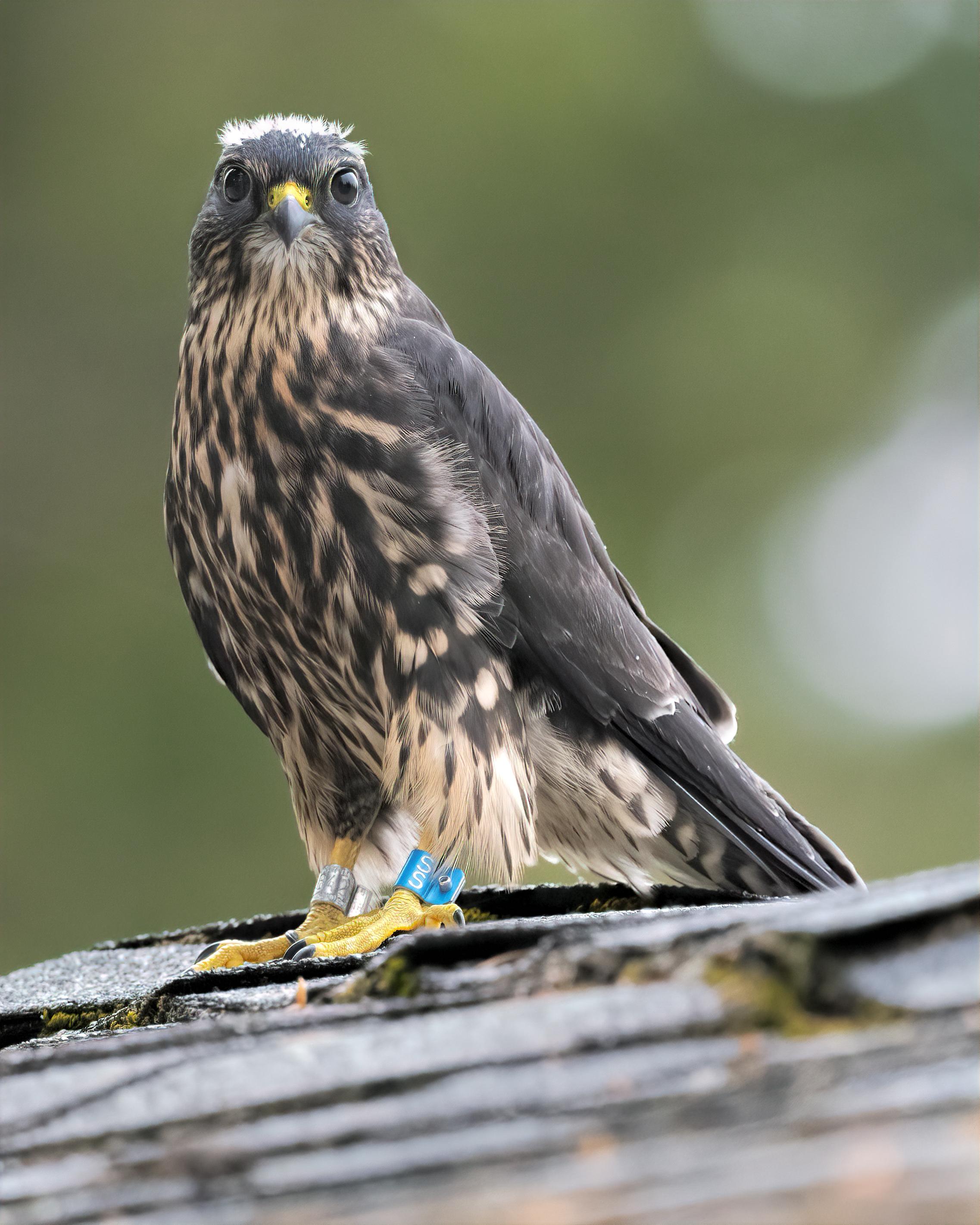 Merlin Release